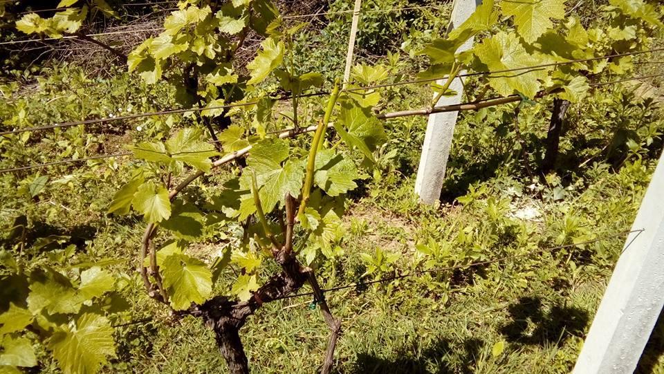 Obavijest Savjetodavne službe vinogradarima