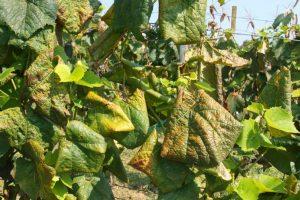 Pregled vinograda na prisutnost zaraze zlatne žutice vinove loze