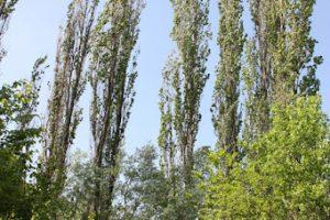 Sječa stabala